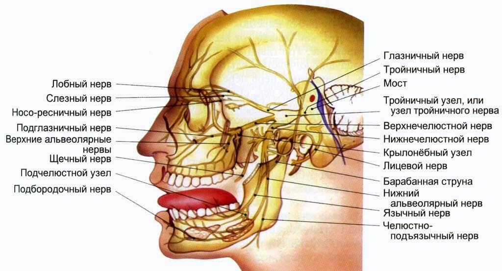 Анатомия и ход ветвей тройничного нерва
