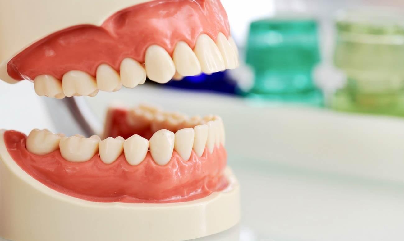 Стоматологическая модель челюсти