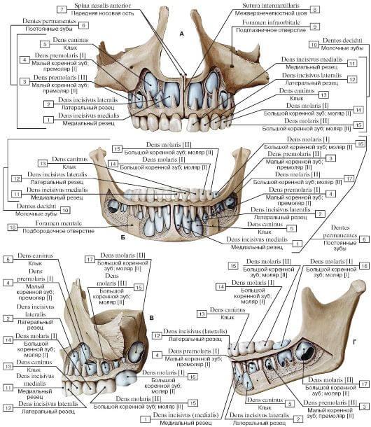 Особенности строения верхней челюсти